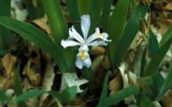 Iris Cristata 42 Wide Wallpaper