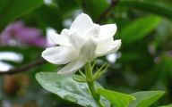 Jasmine Flower Wallpaper 17 Widescreen Wallpaper