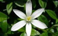 Jasmine Flower Wallpaper 2 Desktop Background
