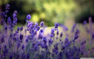 Lavender Flower 14 Background