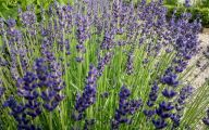Lavender Flower 16 Free Wallpaper