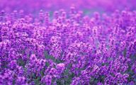 Lavender Flower 17 Cool Wallpaper
