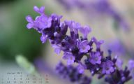 Lavender Flower 18 Desktop Background