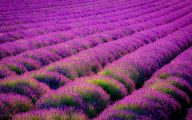 Lavender Flower 19 Background Wallpaper