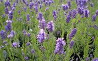 Lavender Flower 2 Desktop Wallpaper