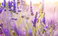 Lavender Flower 23 Wide Wallpaper