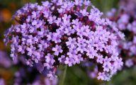 Lavender Flower 26 Hd Wallpaper