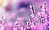 Lavender Flower 29 Desktop Wallpaper