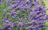 Lavender Flower 3 Desktop Background