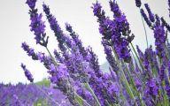 Lavender Flower 30 Background Wallpaper