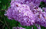 Lavender Flower 33 Cool Hd Wallpaper