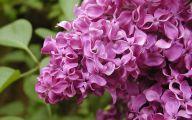 Lilac 49 Widescreen Wallpaper