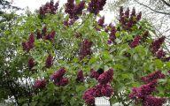 Lilac 82 Desktop Background