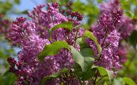 Lilac 83 Widescreen Wallpaper