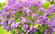 Lilac 84 Free Wallpaper
