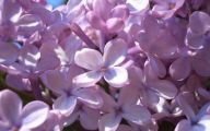 Lilac 86 High Resolution Wallpaper