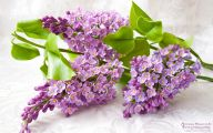 Lilac 87 Free Hd Wallpaper