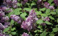 Lilac 95 Free Wallpaper