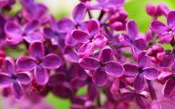 Lilac Flower Wallpaper 12 High Resolution Wallpaper