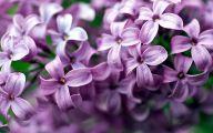 Lilac Flower Wallpaper 13 High Resolution Wallpaper