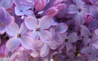 Lilac Flower Wallpaper 18 Desktop Background