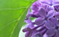 Lilac Flower Wallpaper 2 Cool Hd Wallpaper