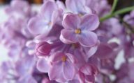 Lilac Flower Wallpaper 25 Cool Hd Wallpaper