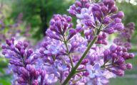 Lilac Flower Wallpaper 3 Desktop Wallpaper