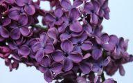 Lilac Flower Wallpaper 5 Cool Hd Wallpaper