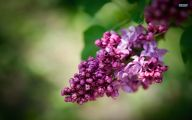 Lilac Flower Wallpaper 9 Cool Hd Wallpaper