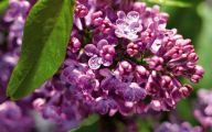 Lilac Wallpaper 10 Cool Hd Wallpaper