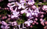 Lilac Wallpaper 13 Desktop Background