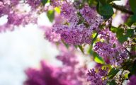 Lilac Wallpaper 14 Free Hd Wallpaper