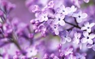 Lilac Wallpaper 16 Background Wallpaper