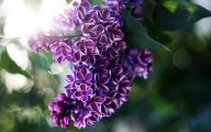 Lilac Wallpaper 19 Free Hd Wallpaper