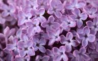 Lilac Wallpaper 2 Wide Wallpaper
