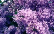 Lilac Wallpaper 21 Free Hd Wallpaper