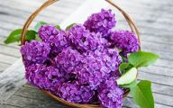 Lilac Wallpaper 24 Free Hd Wallpaper