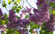 Lilac Wallpaper 29 Background Wallpaper