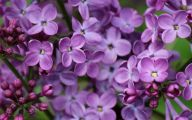 Lilac Wallpaper 34 Cool Hd Wallpaper