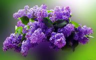 Lilac Wallpaper 36 Cool Hd Wallpaper