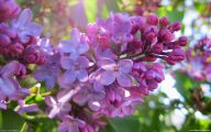 Lilac Wallpaper 39 High Resolution Wallpaper