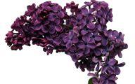 Lilac Wallpaper 4 Free Wallpaper