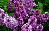 Lilac Wallpaper 5 Hd Wallpaper