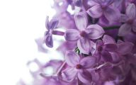 Lilac Wallpaper 8 Background Wallpaper