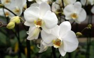 Orchid Wallpaper 36 Free Wallpaper