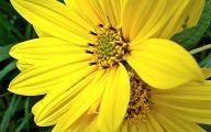 Pictures Of Yellow Flowers 5 Wide Wallpaper
