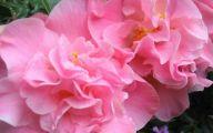 Pink Camellias 15 Hd Wallpaper