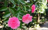 Pink Camellias 22 Wide Wallpaper
