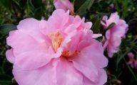 Pink Camellias 25 Wide Wallpaper